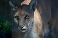 Florida panther deaths hit record highs this year