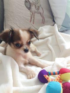 Bibi Chihuahua | Pawshake