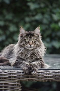 Maine Coon Cat - There are many legends about this impressive Goliath. One story states the Maine Coon is a crossbreed between a Lynx and a Raccoon. But the real origin lays in crossbreeds between big long-haired domestic cats. These big cats are know for their sweet and gently character.