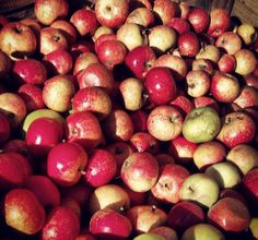 A huge Autumn donation of apples that came into the cider shed.