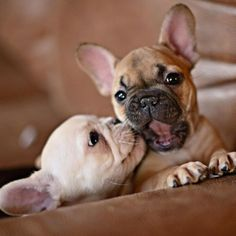 """Smooch!""....""Ewwwwww!.. she kissed me!"", adorable French Bulldog Puppies."