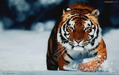 Siberian Tiger trudging through the snow