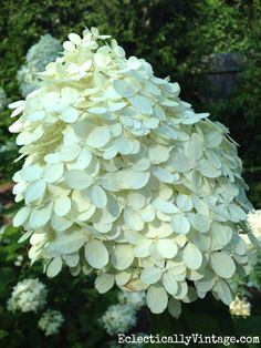 Love Limelight hydrangeas - see these tips for growing them kellyelko.com