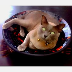 After the siamese cats came two burmese cats - Kimeros Cream Koogar or Koogie for short and Arthur the vicious!!