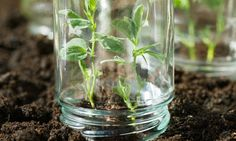 Snug from the bugs: Old jam jars are just one way to protect your crops and keep them warm. (Alys Fowler) #gardening
