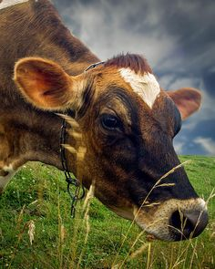 Dairy Cow Eating Grass - Original fine art Cow Photography by Bob Orsillo   Copyright (c)Bob Orsillo / http://orsillo.com - All Rights Reserved.  Buy art online.  Buy photography online