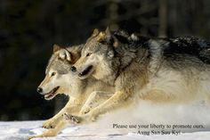 Gray Wolves Running FREE as They Should ALWAYS!