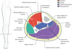 compartments of lower leg Facial Nerve Anatomy, What Is Fascia, Peroneus Longus, Soleus Muscle, Gastrocnemius Muscle, Deep Fascia, Lymph Fluid, Ligaments And Tendons