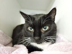 NEW PHOTO -  Friendly Wellington was brought to shelter for litterbox issues - cat is obese - 18.3 lbs - and has a heart murmur. May need urinary diet - please adopt!!