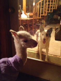 Are you my mother?...asks the newborn alpaca?