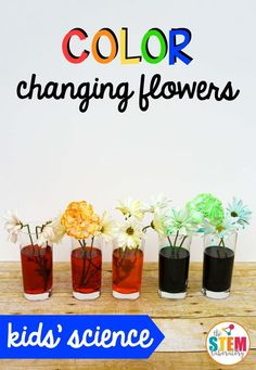 It's easy to see how plants drink water by doing this simple science experiment: Color Changing Flowers. Learn about plant biology and create a beautiful flower rainbow the kids will love. It's a must-try kids' plant experiment! Getting Ready This experim Plant Experiments, Easy Science Experiments, Plant Science, Science Activities For Kids, Stem Science, Preschool Science, Science Fair, Stem Activities, Spring Activities