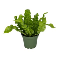 4″ Crispy Wave Fern | Vermeer Purple Table, Greater Toronto Area, Tropical Plants, Ferns, Indoor Plants, Orchids, Waves, Make It Yourself, Inside Plants