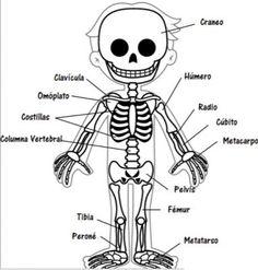 el esqueleto humano para niños con partes