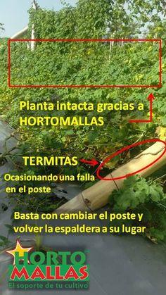 la malla tutora hortomallas permite grandes cargas de plantas y frutos sin fallar, antes falla un poste que la malla espaldera
