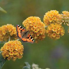 Buddleja globosa - yellow ball Buddleia and butterfly