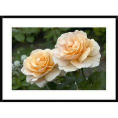 Global Gallery Rose Just Joey Variety Flowers by Visions Pictures Framed Photographic Print Size: