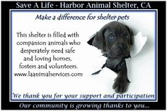 SAVE A LIFE FROM THE HARBOR SHELTER! HARBOR ANIMAL SHELTER, 957 N. GAFFNEY ST., SAN PEDRO, CA 90731 DIRECT LINE: (310) 548-2632. KENNEL SUPERVISOR-GERALD HILL City Cell# (213) 305-8312 E-mail: gee.hill@lacity.org  IF YOU LIVE IN THE LOS ANGELES AREA, SAVE A LIFE AND FOSTER AN ANIMAL FOR TWO MONTHS! VISIT THIS LINK TO LEARN MORE: http://www.laanimalservices.com/volunteer/foster-program/