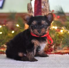 ❄️😍These #YorkshireTerrier puppies are so honored to be introduced to you! They are #snugglylittlefur-buddies and would love to meet you, Your heart is sure to melt when you meet these #sweetlittlefaces!❄️😍 #Charming #PinterestPuppies #PuppiesOfPinterest #Puppy #Puppies #Pups #Pup #Funloving #Sweet #PuppyLove #Cute #Cuddly #Adorable #ForTheLoveOfADog #MansBestFriend #Animals #Dog #Pet #Pets #ChildrenFriendly #PuppyandChildren #ChildandPuppy #BuckeyePuppies… Yorkie Puppy For Sale, Puppies For Sale, Puppy Love, Small Dog Breeds, Small Dogs, Lancaster Puppies, Indoor Pets, Yorkshire Terrier Puppies, Mans Best Friend