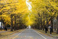 銀杏並木. Japanese Landscape, Side Garden, Fantasy Places, Planting, The Good Place, Sidewalk, Country Roads, Trees, City