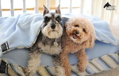 Remington and Murphy Bungee in Burrow Bed by Fix Your Images Photography #Miniature #Schnauzer #Poodle #Bichon