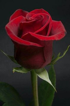 Captivating Why Rose Gardening Is So Addictive Ideas. Stupefying Why Rose Gardening Is So Addictive Ideas. Amazing Flowers, Beautiful Roses, My Flower, Flower Power, Beautiful Flowers, Red Rose Flower, Rosa Rose, Arte Floral, Flowers Nature