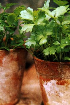 Parsley. Pintrest said- I'm growing this, and I don't know why. It good atop a little spaghetti sauce but other than that I'm not much on it. Grows like a weed with little maintenance- I wanna do this as well