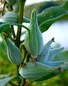 Milkweed Pods. Prairie GardenMonarch ButterflyEnchanted ...
