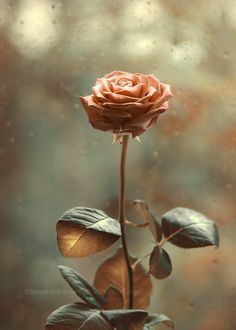 *the beauty of a rose