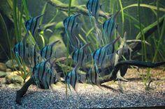 Altum angelfish