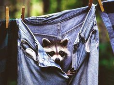 Raccoon Hide in the Jeans !