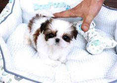 38 Trendy Ideas Dogs And Puppies Shih Tzu Heart Shitzu Puppies, Tiny Puppies, Puppies And Kitties, Teacup Puppies, Cute Puppies, Cute Dogs, Doggies, Shih Tzu Hund, Pets