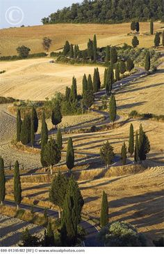 Winding Road with Cypress Trees