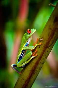 The Red-Eyed Leaf (Tree) Frog of Costa Rica by (ShotHotspot.com)