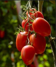 roma tomatoes growing - Google Search