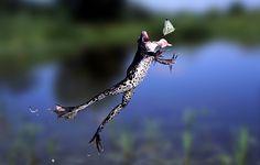 Ihre enorme Sprungkraft verdanken die Frösche nicht nur ihren langen Hinterbeinen, sondern auch ganz besonderen Muskeln: Sie sind viel dehnbarer als bei Säugetieren und im Ruhezustand stark in die Länge gezogen. Springt der Frosch ab, ziehen seine Beinmuskeln sich zusammen und wirken wie ein Katapult. Gut für den Frosch, schlecht für den Schmetterling.Streberwissen: Ob der Frosch den Schmetterling bekommen hat