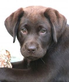 Chocolate Labrador ... I love those little brown faces!!!!!!!!!!!!!!