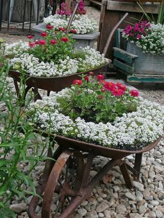 Old wheel barrel planter