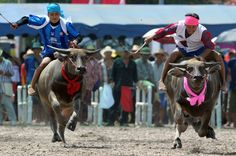 The problem with this water buffalo race in Thailand is surely that the jockeys are too big...