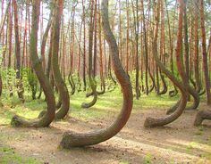 """""""Crooked Forest""""  In a tiny corner of western Poland a forest of about 400 pine trees grow with a 90 degree bend at the base of their trunks - all bent northward. Surrounded by a larger forest of straight growing pine trees this collection of curved trees, or """"Crooked Forest,"""" is a mystery."""
