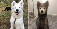 Beautiful Samoyed Puppy Gets Muddy All Over Except for One Spot: 'All We Could Do Was Laugh'