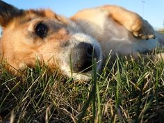 """""""Can we roll in the grass incessantly, particularly after a bath?"""" -famous Corgi words"""