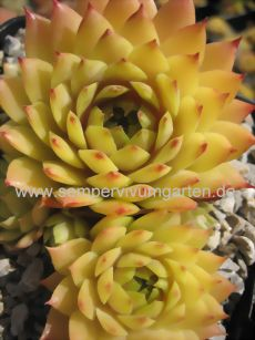 Types Of Succulents Plants, Cacti And Succulents, Planting Succulents, Cactus Plants, Garden Plants, Planting Flowers, Succulent Outdoor, Outdoor Flowers, Succulent Gardening