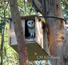 ~Attracting Barn Owls, Natural Rodent Control~well there is lots of trees near the creek. Owl Nest Box, Owl Box, Bird House Plans, Bird Boxes, Nesting Boxes, Backyard Birds, Owl House, Bird Feathers, Beautiful Birds