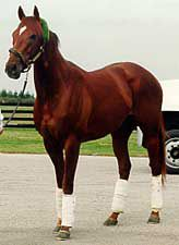 Thunder Gulch (1992, by Gulch - Line of Thunder, by Storm Bird), Bred by Peter Brant and trained D Wayne Lukas for owner Michael Tabor; won $ 2.9-million in 16 starts, including the Kentucky Derby and Belmont Stakes. Champion 3-Year-Old Colt in 1995 in the US. Sire of Point Given, Spain, Balance; leading US sire in 2001. Photo by Anne M. Eberhardt.