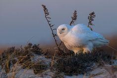 オーチス・パイク・ファイア・アイランド・ハイデューン保護地域、ニューヨーク州 > 朝陽が昇り始めた頃に撮影されたシロフクロウのオス