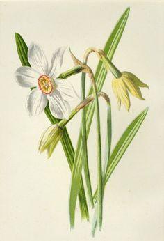 Matted Antique Botanical Print Poet's by AntiquePrintBoutique