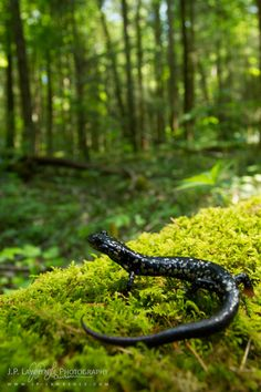 Northern Slimy Salamander by J.P. Lawrence Photography