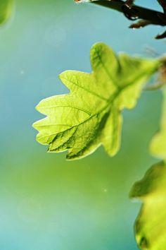 Pure Green Leaf