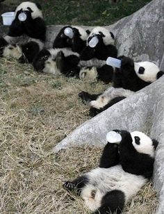 5 Panda Cubs Eating Together cute animals animal adorable animals animal pictures