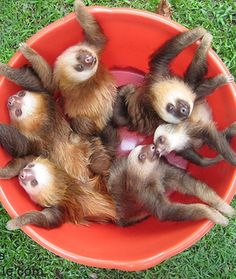 sloths 12 Adorable Litters of Baby Animals